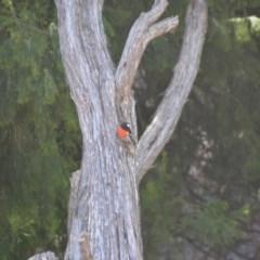 Petroica boodang (Scarlet Robin) at Wamboin, NSW - 19 Feb 2018 by natureguy