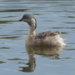 Poliocephalus poliocephalus (Hoary-headed Grebe) at West Belconnen Pond - 10 Apr 2018 by Christine