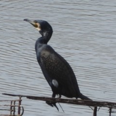 Phalacrocorax carbo (Great Cormorant) at West Belconnen Pond - 10 Apr 2018 by Christine