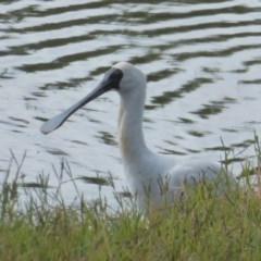 Platalea regia (Royal Spoonbill) at West Belconnen Pond - 10 Apr 2018 by Christine