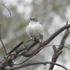 Daphoenositta chrysoptera (Varied Sittella) at Kambah, ACT - 21 Apr 2018 by HelenCross