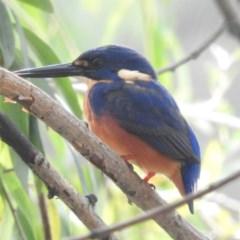 Ceyx azureus (Azure Kingfisher) at Point Hut to Tharwa - 18 Apr 2018 by RyuCallaway