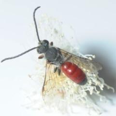Lasioglossum (Parasphecodes) sp. (genus & subgenus) (Halictid bee) at Melba, ACT - 13 Apr 2018 by Harrisi