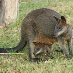 Wallabia bicolor (Swamp Wallaby) at Undefined - 16 Feb 2018 by nickhopkins