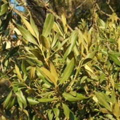 Olea europaea subsp. cuspidata (African Olive) at Isaacs Ridge and Nearby - 24 Apr 2018 by Mike