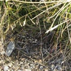Tasmanicosa sp. (genus) (Unidentified Tasmanicosa wolf spider) at Kosciuszko National Park - 24 Apr 2018 by KShort