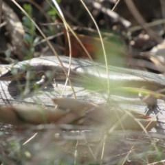 Pseudemoia entrecasteauxii (Woodland Tussock-skink) at Kosciuszko National Park - 22 Apr 2018 by KShort