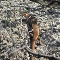 Pseudemoia entrecasteauxii (Woodland Tussock-skink) at Kosciuszko National Park - 24 Apr 2018 by KShort