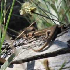 Pseudemoia entrecasteauxii (Woodland Tussock-skink) at Kosciuszko National Park - 23 Apr 2018 by KShort