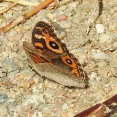 Junonia villida (Meadow Argus) at Tharwa Bridge - 25 Apr 2018 by RodDeb