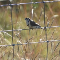 Taeniopygia bichenovii (Double-barred Finch) at Macgregor, ACT - 24 Apr 2018 by Christine