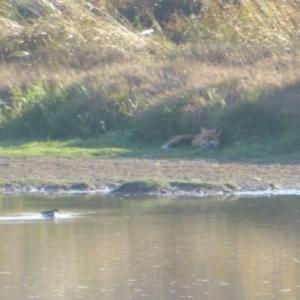 Erythrogonys cinctus at Jerrabomberra Wetlands - 24 Apr 2018