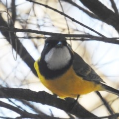Pachycephala pectoralis (Golden Whistler) at ANBG - 23 Apr 2018 by HelenCross