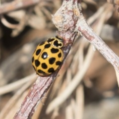 Harmonia conformis (Common Spotted Ladybird) at Higgins, ACT - 24 Apr 2018 by Alison Milton
