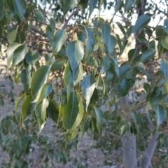 Brachychiton populneus subsp. populneus (Kurrajong) at Wanniassa Hill - 27 Apr 2018 by Mike