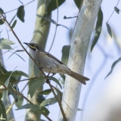 Caligavis chrysops (Yellow-faced Honeyeater) at Higgins, ACT - 25 Apr 2018 by Alison Milton