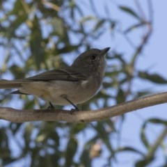 Pachycephala pectoralis (Golden Whistler) at Higgins, ACT - 25 Apr 2018 by Alison Milton