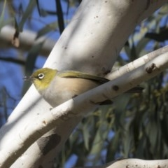 Zosterops lateralis (Silvereye) at Higgins, ACT - 25 Apr 2018 by Alison Milton