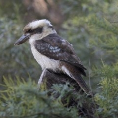 Dacelo novaeguineae (Laughing Kookaburra) at ANBG - 27 Apr 2018 by Alison Milton