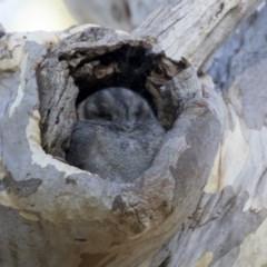 Aegotheles cristatus (Australian Owlet-nightjar) at ANBG - 27 Apr 2018 by Alison Milton
