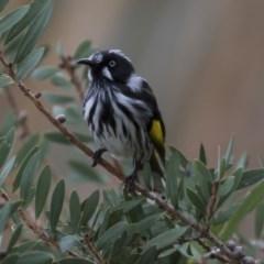 Phylidonyris novaehollandiae (New Holland Honeyeater) at Jerrabomberra Wetlands - 18 Apr 2018 by Alison Milton