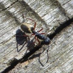 Dolichoderus scabridus (Dolly ant) at Tidbinbilla Nature Reserve - 27 Apr 2018 by Christine