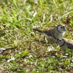 Taeniopygia bichenovii (Double-barred Finch) at Pialligo, ACT - 28 Apr 2018 by HelenCross