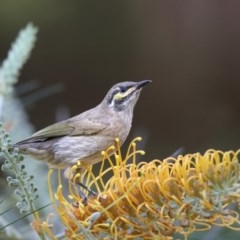 Caligavis chrysops (Yellow-faced Honeyeater) at Undefined - 27 Mar 2018 by Leo