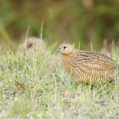 Coturnix ypsilophora (Brown Quail) at Booderee National Park - 23 May 2014 by Leo