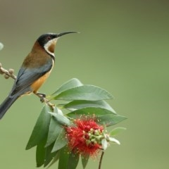 Acanthorhynchus tenuirostris (Eastern Spinebill) at Jervis Bay, JBT - 23 May 2014 by Leo