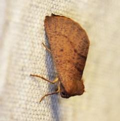 Fisera perplexata (Light-tan Crest-moth) at O'Connor, ACT - 26 Apr 2018 by ibaird