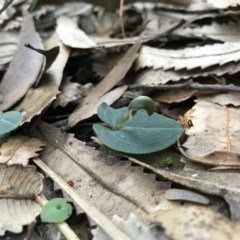 Corybas aconitiflorus (Spurred Helmet Orchid) at Booderee National Park - 14 May 2017 by AaronClausen