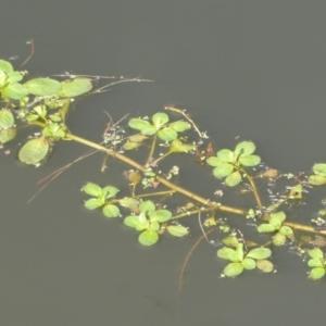 Ludwigia sp. at Jerrabomberra Wetlands - 29 Apr 2018