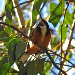 Acanthorhynchus tenuirostris (Eastern Spinebill) at ANBG - 30 Apr 2018 by RodDeb