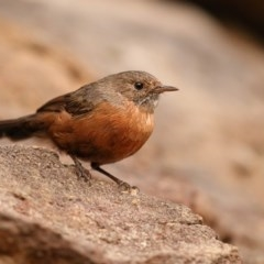 Origma solitaria (Rockwarbler) at Bomaderry Creek Walking Track - 21 Mar 2014 by Leo