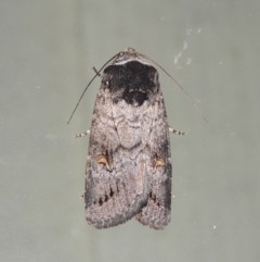 Proteuxoa restituta (An owlet moth) at Conder, ACT - 28 Mar 2018 by michaelb