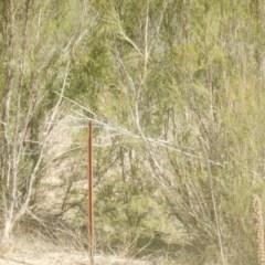 Vombatus ursinus (Wombat) at Bullen Range - 25 Apr 2018 by MichaelMulvaney