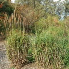 Miscanthus sinensis (Chinese Fairy Grass) at Commonwealth & Kings Parks - 2 May 2018 by Mike