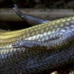 Hemiergis decresiensis (Three-toed Skink) at Mount Majura - 2 May 2018 by jbromilow50