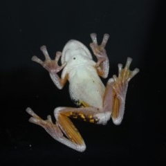 Litoria peronii (Peron's Tree Frog) at Undefined - 1 May 2018 by nickhopkins
