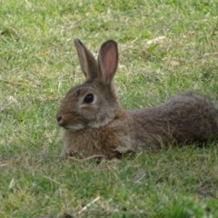 Oryctolagus cuniculus (European Rabbit) at Commonwealth & Kings Parks - 2 May 2018 by Mike