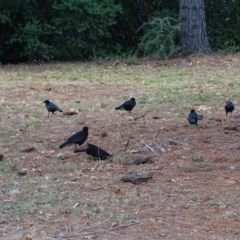 Corcorax melanorhamphos (White-winged Chough) at Commonwealth & Kings Parks - 2 May 2018 by Mike