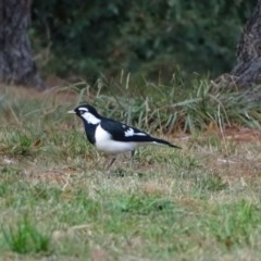 Grallina cyanoleuca (Magpie-lark) at Commonwealth & Kings Parks - 2 May 2018 by Mike