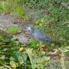 Egretta novaehollandiae (White-faced Heron) at Commonwealth & Kings Parks - 2 May 2018 by Mike