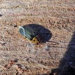 Xanthogaleruca luteola (Elm leaf beetle) at Jerrabomberra Wetlands - 1 May 2018 by RodDeb