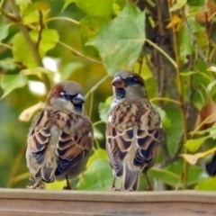 Passer domesticus (House Sparrow) at National Zoo and Aquarium - 2 May 2018 by RodDeb