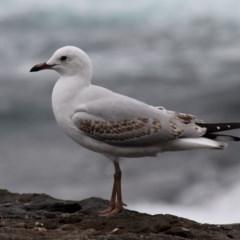 Chroicocephalus novaehollandiae (Silver Gull) at Jervis Bay Marine Park - 26 Dec 2011 by HarveyPerkins