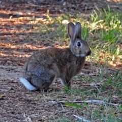 Oryctolagus cuniculus (European Rabbit) at Jerrabomberra Wetlands - 1 May 2018 by RodDeb