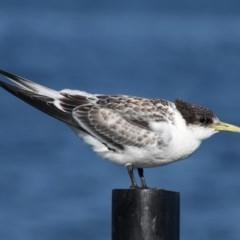 Thalasseus bergii (Crested Tern) at Jervis Bay Marine Park - 24 Dec 2011 by HarveyPerkins