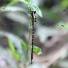 Choristhemis flavoterminata (Yellow-tipped Tigertail) at Ulladulla - Millards Creek - 27 Jan 2018 by CBrandis